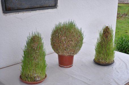 Tajna božićne pšenice na klipu kukuruza